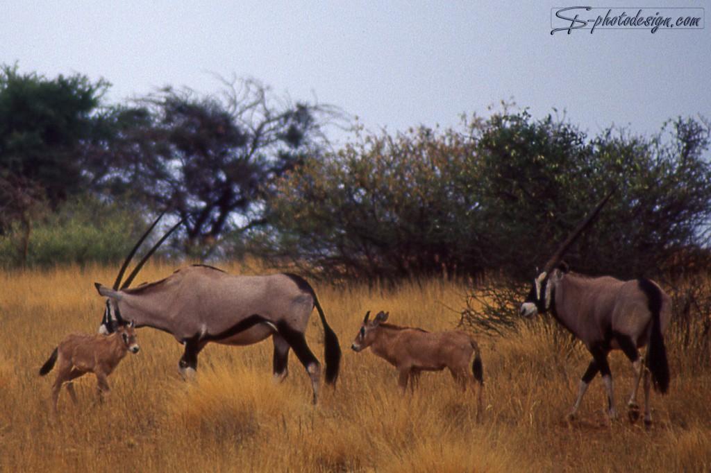 Leicht verändert: der Horizont gerade gerückt, und auf das Wesentliche beschnitten: die Tiere! Oryxe mit ihren Kleinen (meine Lieblings-Antilopenart)