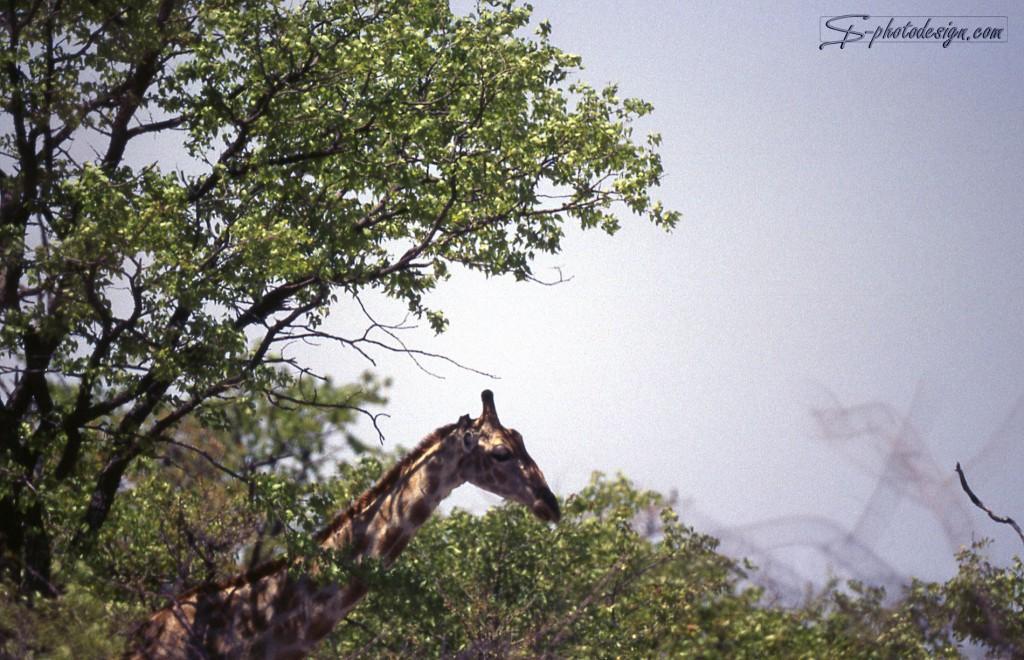 Im Original wirkt die Giraffe, als würde sie gleich nach vorne kippen. Das Bild besteht aus viel leerem Raum, ohne dass dieser eine Wirkung hätte. Zweige über dem Kopf der Giraffe stören.