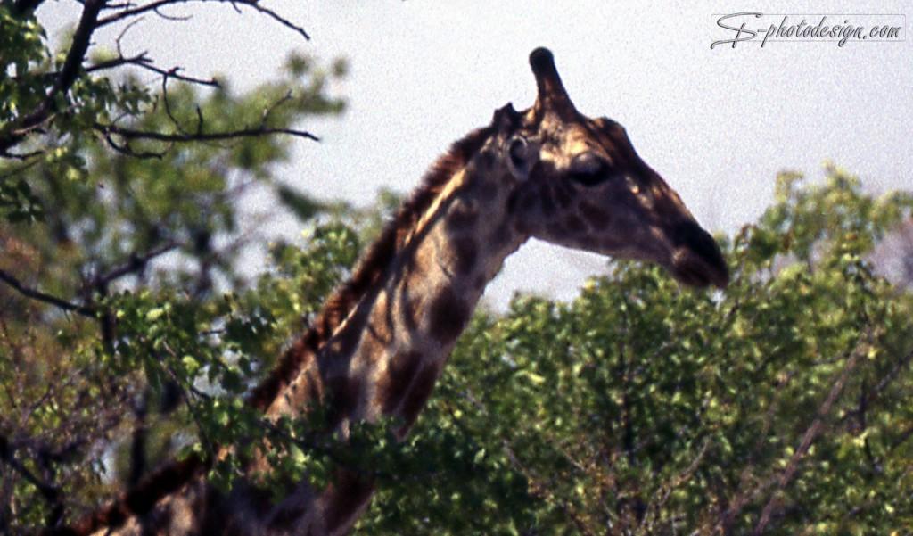 In der bearbeiteten Version wurde die Giraffe in eine natürliche Neigung gekippt und in's Zentrum des Bilds gestellt - d.h. überflüssige Bildabschnitte wurden entfernt.