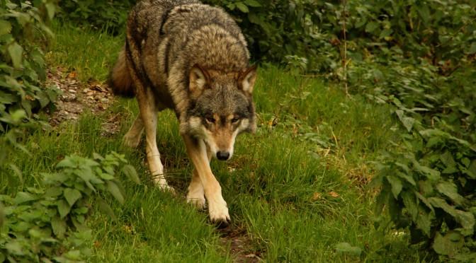 Wölfe jagen