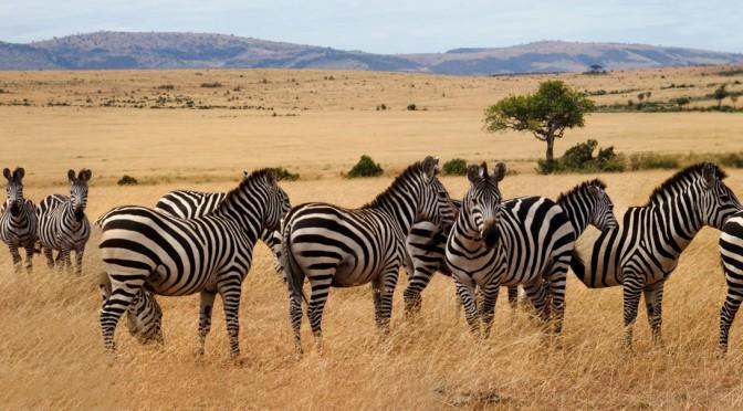 Zebrae – oder: waren die alten Lateiner eigentlich auch schon in Kenia?