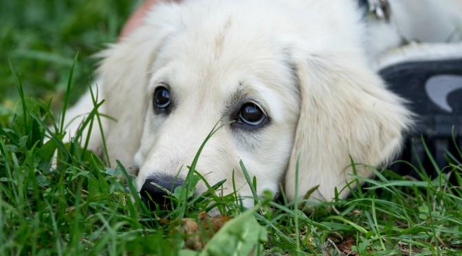 Tierportrait: Hundewelpen (ruhend fotografiert)