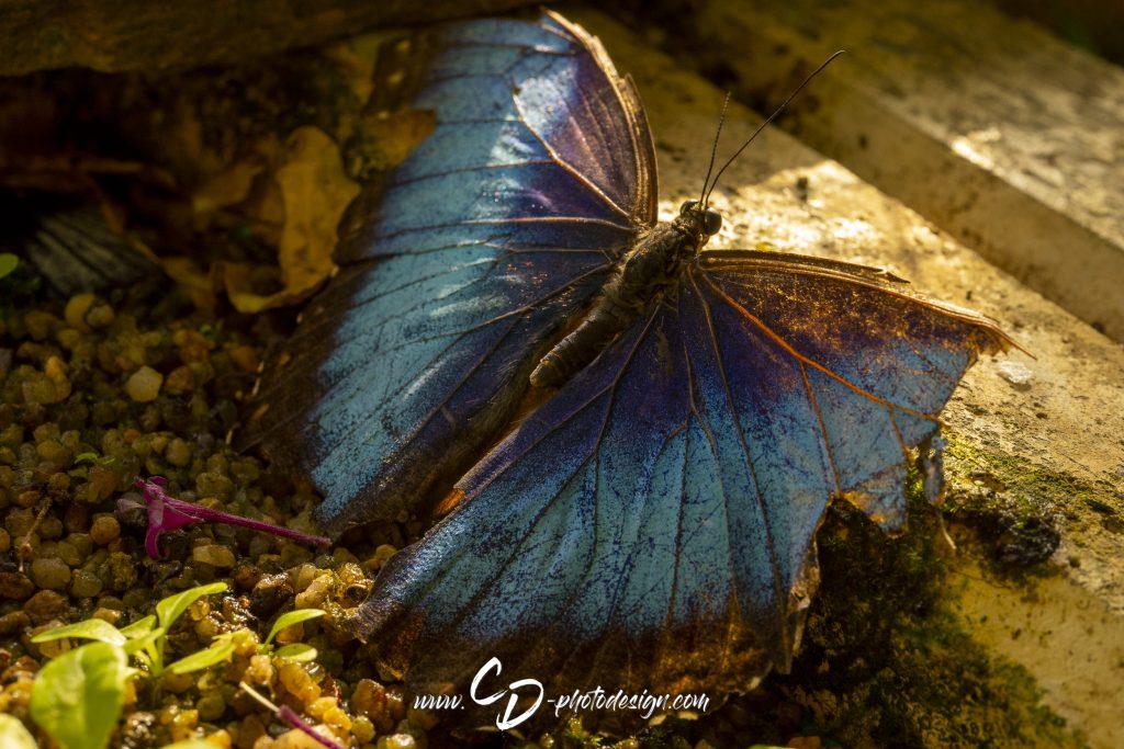 Blauer Morphofalter (nicht sicher....)