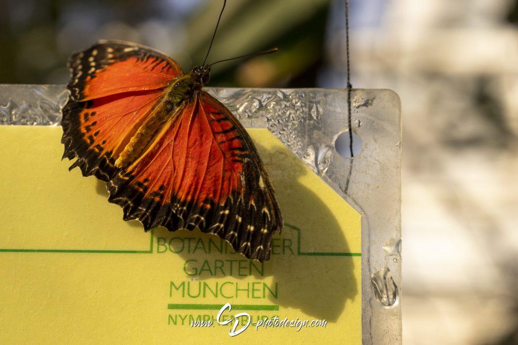 Rot-Oranger Spitzenflügel (Südostasien)